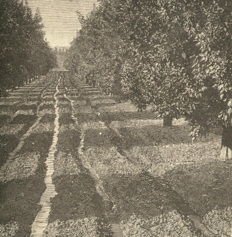 An Irrigated Orange Grove at Riverside, California